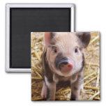 Bébés mignons de basse-cour d'animaux de ferme de  magnets pour réfrigérateur