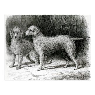 Bedlington Terrier-Herr F. Armstrongs Postkarte
