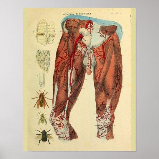 Bein-Muskel-Arterien-Bienen-Anatomie-Kunst-Druck Poster | Zazzle.ch