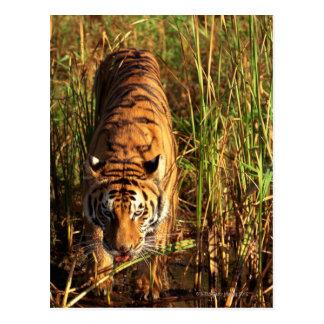 Bengalischer Tiger in den Feuchtgebieten Postkarte