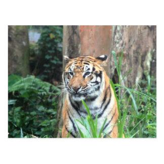 Bengalischer Tiger, Indien Postkarte