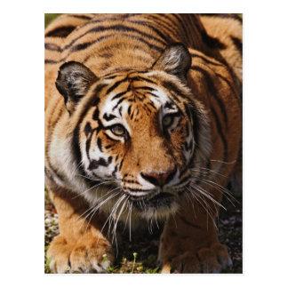 Bengalischer Tiger, Panthera der Tigris 3 Postkarte