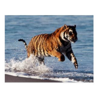 Bengalischer Tiger (Panthera der Tigris) Postkarte