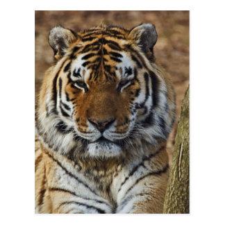 Bengalischer Tiger, Panthera Zoo des Tigris, Postkarte
