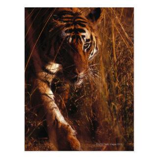 Bengalischer Tiger Postkarte