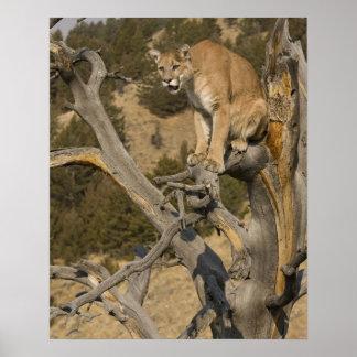 Berglöwe, alias Puma, Puma; Puma concolor, 2 Poster