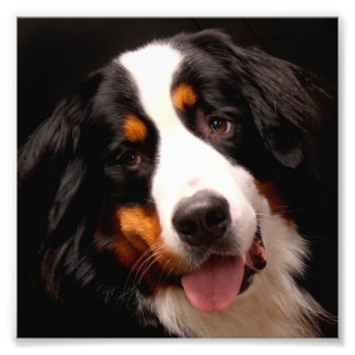 Bernese Gebirgshund Photo