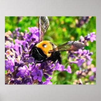 Biene auf Lavendel Poster