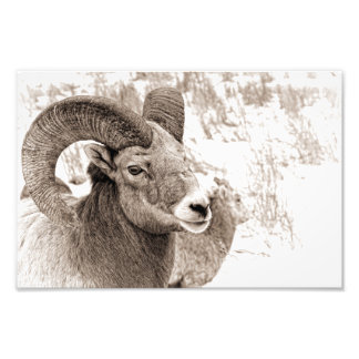 Bighorn-Schafe Fotodruck