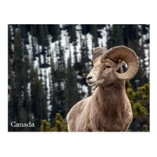 Bighorn-Schafe - Kanada Postkarte