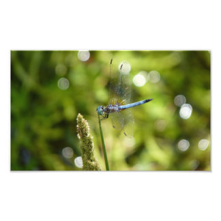 blaue dasher Libelle Photo Drucke