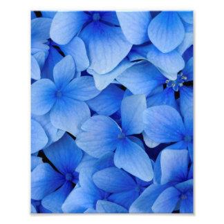 Blaue Hydrangea-Blumen Fotodruck