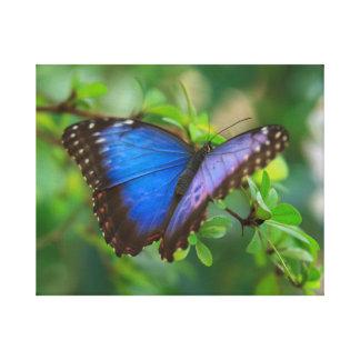 Blaue Morpho ausgedehnte Leinwand