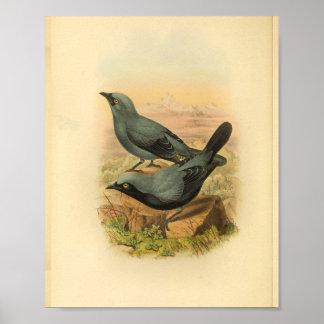 Blauer Arfak Kuckuck Shrike Vogel-Vintager Druck Poster