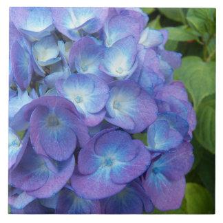 Blauer Hydrangea blüht mit Blumen Große Quadratische Fliese