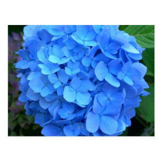 Blauer Hydrangea Postkarte