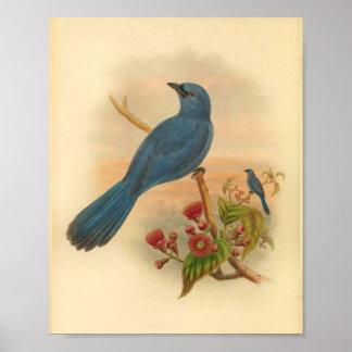 Blauer Kuckuck Shrike Vogel-Vintage Poster