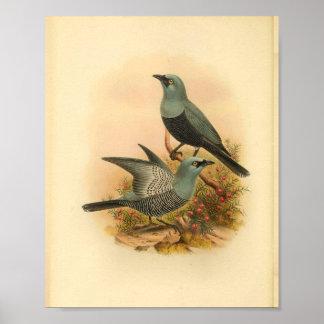 Blauer Mafoor Kuckuck Shrike Vogel-Vintager Druck Poster