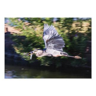 Blauer Reiher im Flug mit Fischen Kunstfoto