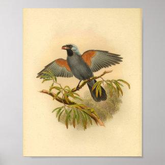 Blaues Grau Campephaga Kuckuck-Vogel-Vintager Poster