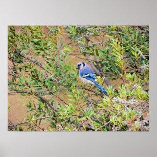 Blaues Jay auf Wachs Myrte Poster