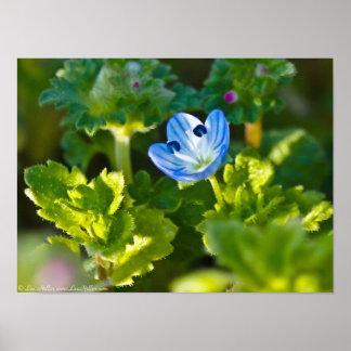 Blaues Vogel-Auge Speedwell Wildblume-Plakat Poster
