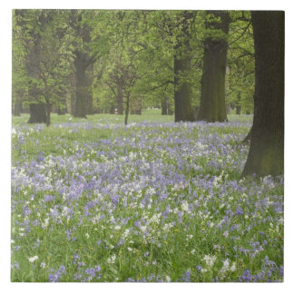 Bluebells und Eichen im Frühjahr, wenig Hagley Große Quadratische Fliese