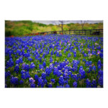Bluebonnet de Texas Posters