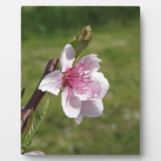 Blühender Pfirsichbaum gegen den grünen Garten Fotoplatte