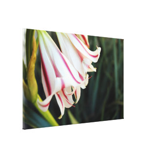 Blume der weißen Lilie Leinwanddruck