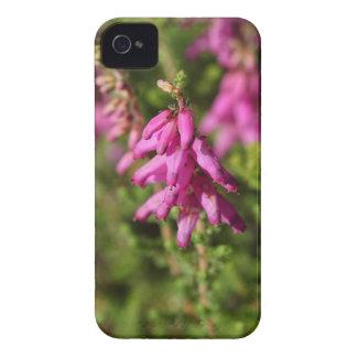 Blumen eines Dorset-Heide (Heidekraut cilaris) iPhone 4 Case-Mate Hüllen