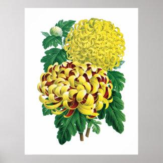 Botanischer Druck der Chrysantheme Poster