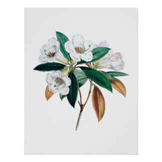 Botanischer Druck des Rhododendrons Poster