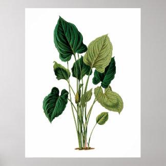 Botanischer Philodendron Druck des tropischen Poster