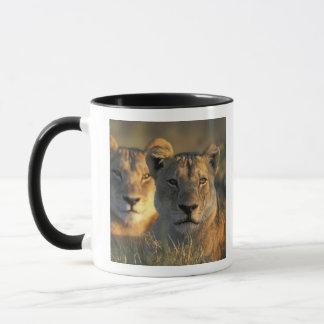 Botswana, Chobe Nationalpark, Löwinnen Tasse