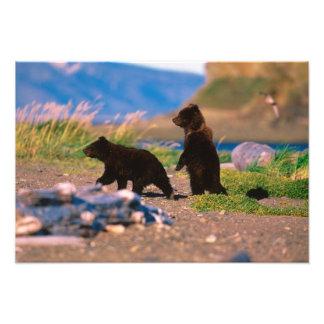 Braunbär, Ursus arctos, Alaska-Halbinsel, Fotografische Drucke