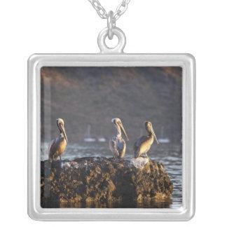Brown-Pelikane auf Felsen in Puerto Escondido nahe Versilberte Kette