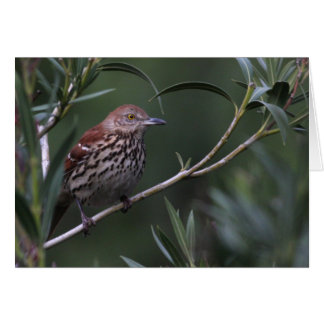 Brown Thrasher - Joe Sweeney - Karte