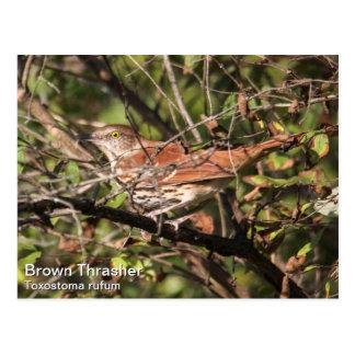 Brown Thrasher Postkarte