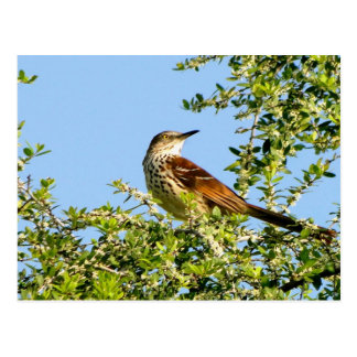 Brown Thrasher Postkarte