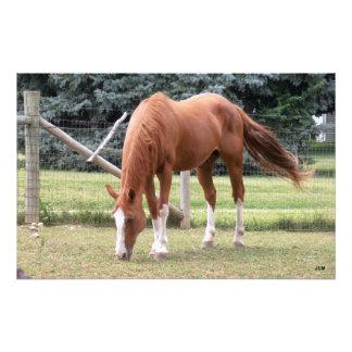 Brown und weißer Sauerampfer-PferdeFoto-Druck Photodrucke