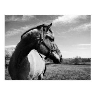 Brownstead Stallion Postkarte