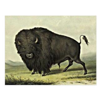 Büffelkunst Postkarte