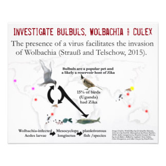 Bulbuls, Wolbachia u. Culex (2-Sided) durch Flyer