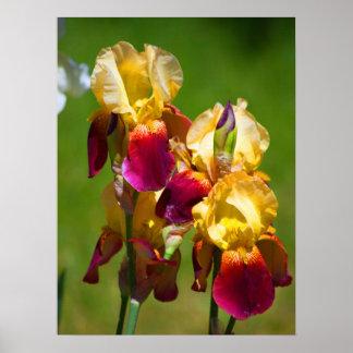 Bunte Iris Poster