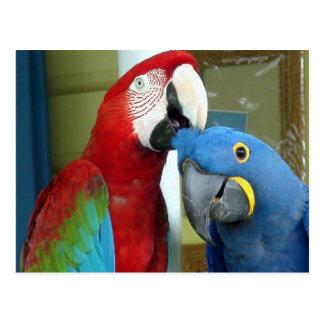 Bunte rote und blaue Macaws Postkarte