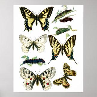 Bunter Frack-Schmetterling, Raupe u. Motte Poster