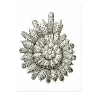 Calcarina clavigera Ernst Haeckel-schöne Kunst Postkarte