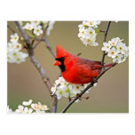 Cardinal du nord cartes postales