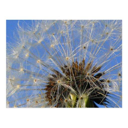 Carte postale de fleurs blanches, parc Rozelle de